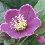 Helleborus x hybridus single reverse picotee