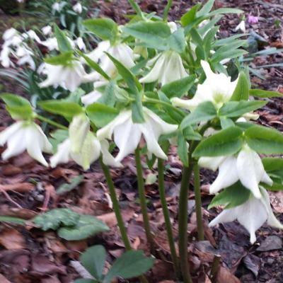 Helleborus x hybridus woodland white
