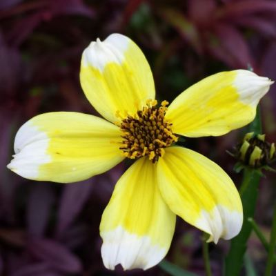 Bidens heterophylla 'Hannays Lemon Drop'