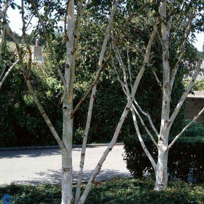 Betula utilis 'Jaquemontii'