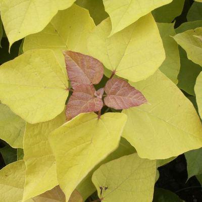Catalpa bignoides 'Aurea'