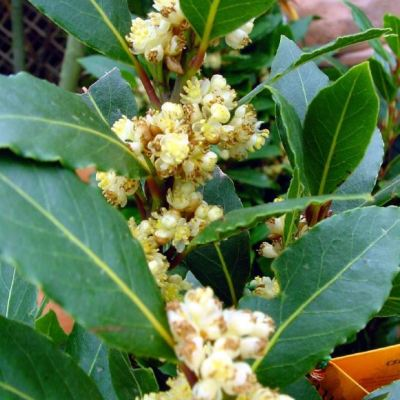 Laurus nobilis (bay Tree)