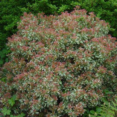 Pieris japonica 'Little Heath'