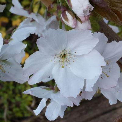 Prunus 'Tai Haku'