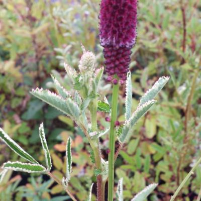 Sanguisorba officinalis 'Shiro-fukurin'