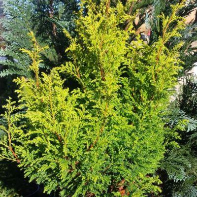 Chamaecyparis pisifera Plumosa Aurea