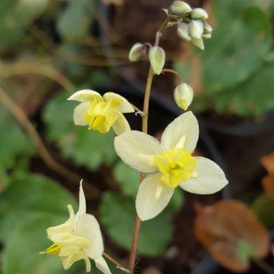 Epimedium versicolor 'Neosulphureum'