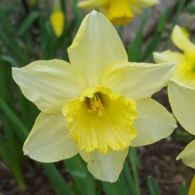 Narcissus 'Binkie'