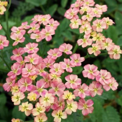 Achillea millefolium 'Apricot Seduction'