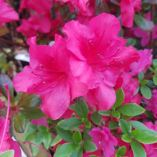 Azalea japonica 'Mother's Day'