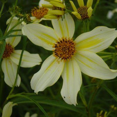 Bidens heterophylla
