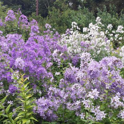 Campanula lactiflora 'New Hybrids'