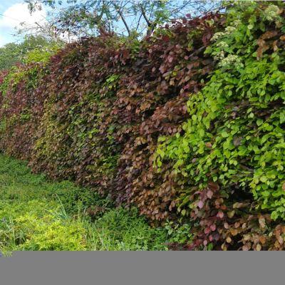 Beech Hedging (5 Per Pot) 45cm