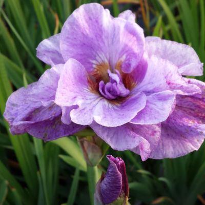Iris ensata 'Pink Parfait'