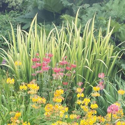 Iris pseudoacorus 'Variegata'