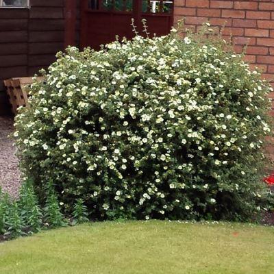 Potentilla 'Primrose Beauty'