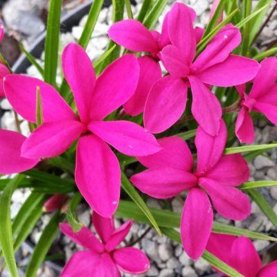 Rhodohypoxis 'Tetra Red'