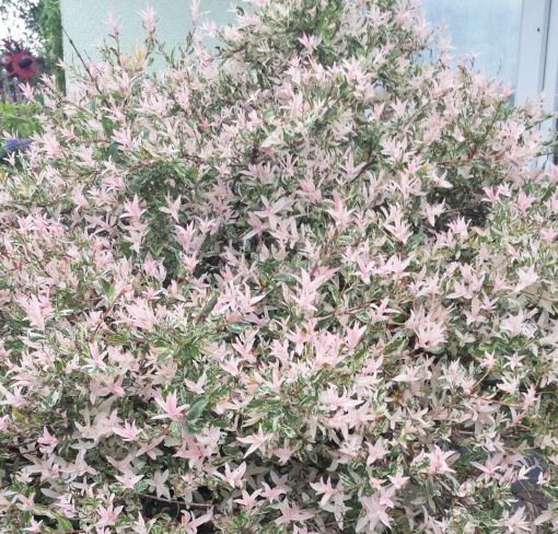 Salix integra 'Hakuro Nishiki'