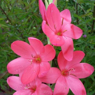 Schizostylis (Hesperantha) coccinea 'Autumn's Dawn'