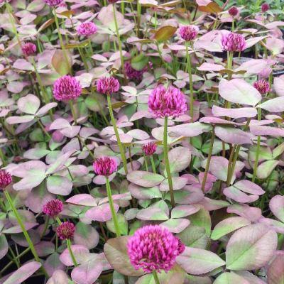 Trifolium repens 'Purpurascens'