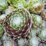Sempervivum arachnoideum 'Web Cluster'