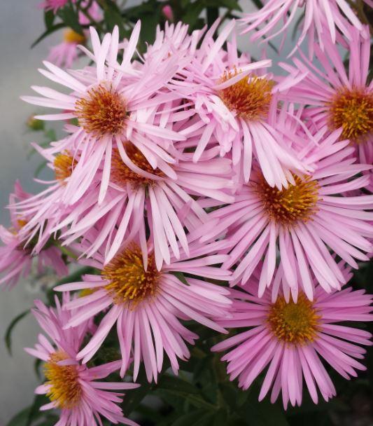 Aster novae angliae pink parfait farmyard nurseries aster novae angliae pink parfait mightylinksfo