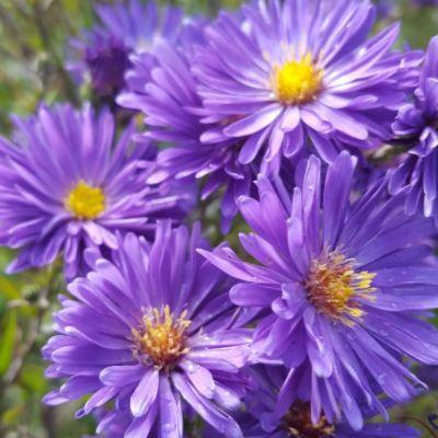 Aster novi-belgii 'Purple Dream'
