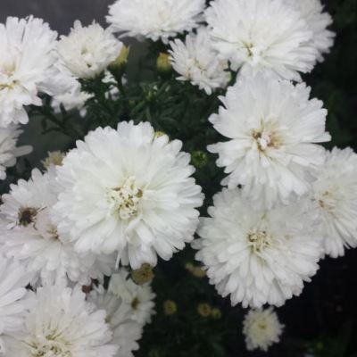 Aster novi-belgii 'Sandfords White Swan'