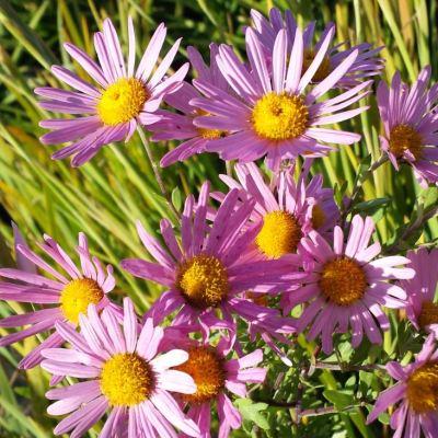 Chrysanthemum rubella 'Clara Curtis'