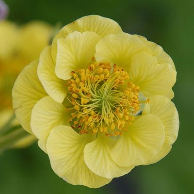 Geum 'Banana Daquiri'