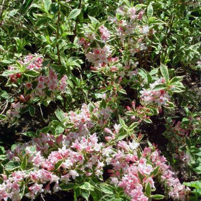weigela-florida-variegata