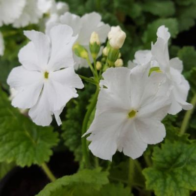 Primula sieboldii 'Our White'