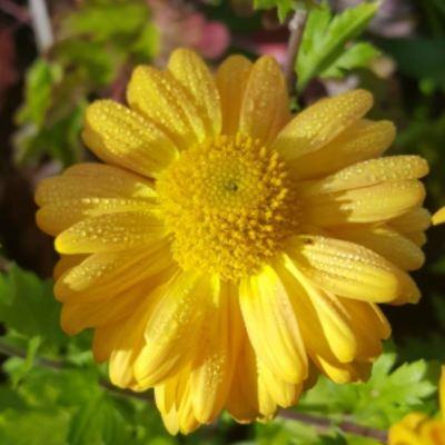 chrysanthemum-gold-marianne2