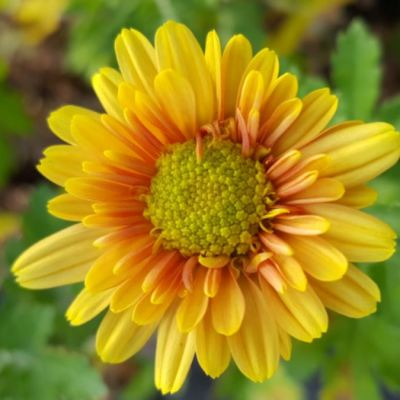 Chrysanthemum 'Golden Greenheart'