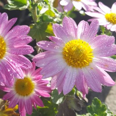 Chrysanthemum 'Jolie Rose'