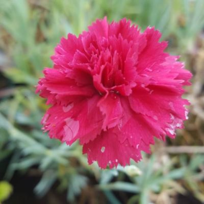 Dianthus 'Eleanors Old Irish'