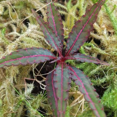 Impatiens omeiana long leaf form