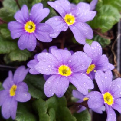 Primula 'Hall Barn Blue'