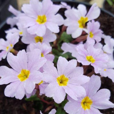 primula iris mainwaring (2)