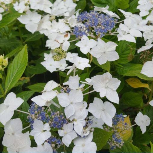 Hydrangea macrophylla 'Lanarth'