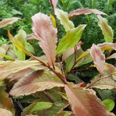 Persicaria virginiana var. filiformis 'Compton's Red'