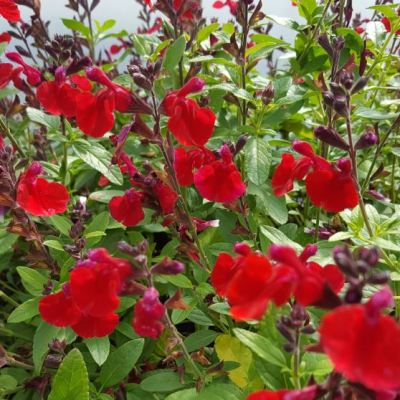 Salvia 'Mirage 'Cherry Red'