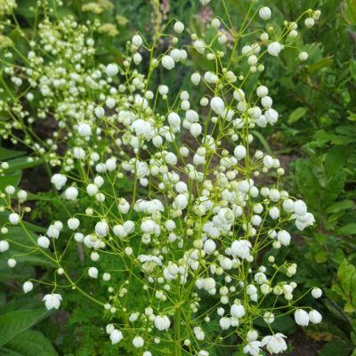 Thalictrum delavayii 'Splendide White'