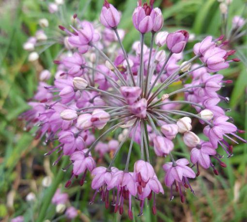 Herb Allium chinense
