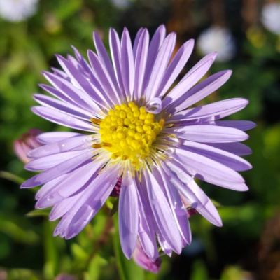 Aster 'Climax Vicary Gibbs'