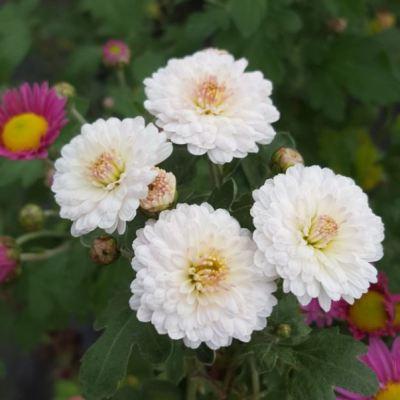 Chrysanthemum 'Purleigh White'