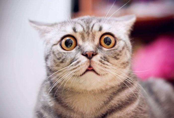 Young crazy surprised cat make big eyes closeup