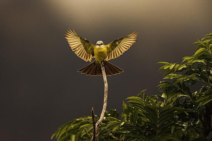 Suiriri-de-garganta-branca (Tyrannus albogularis) Foto Araquém Alcântara