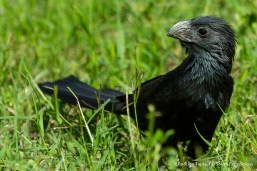 Groove-billed Ani, Photo © Rodrigo Tapia, Far South Expeditions
