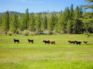 Horses in the meadow of Tahoe ranch property.